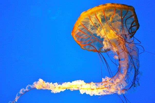 pacific_sea_nettle2c_baltimore2c_md_aquarium1