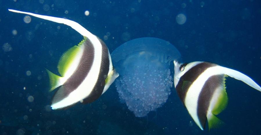 Jellyfish are GoodEatin'!