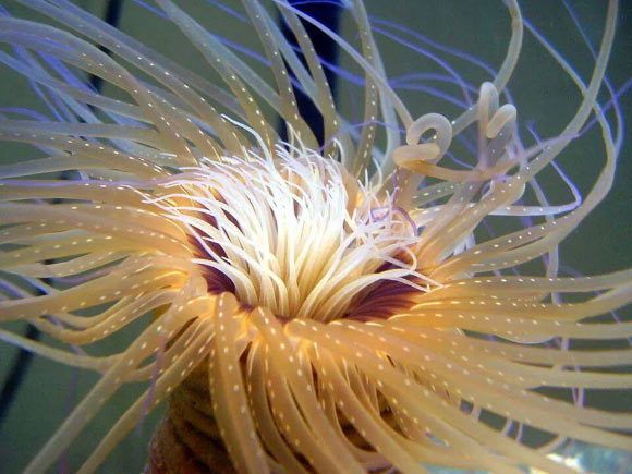 Publication Overview: Four Cerianthid Venoms!